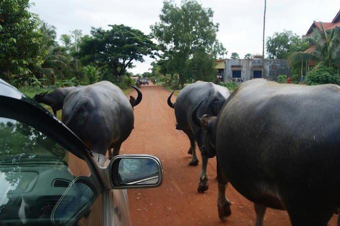 In macchina tra i bufali