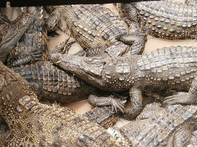Coccodrilli in Laos
